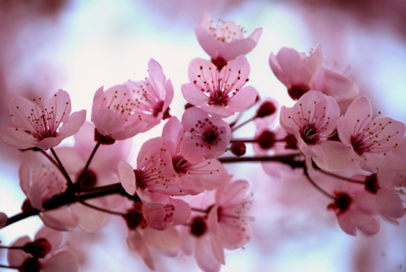 http://www.stuff.co.nz/marlborough-express/news/community-papers/7524696/Cherry-blossom-time-for-families