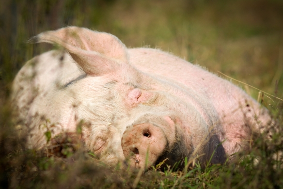 http://www.melbournepigsave.org/happy-pigs.html